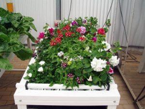 Piante fiori idroponica realizzazione